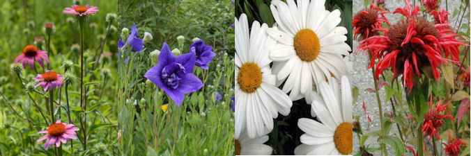 four herbaceous plants for July